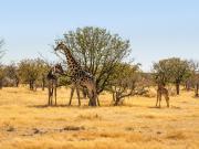 Girafes de Namibie